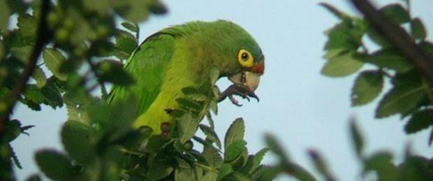 Papağanlar iletişim için taklit ediyor