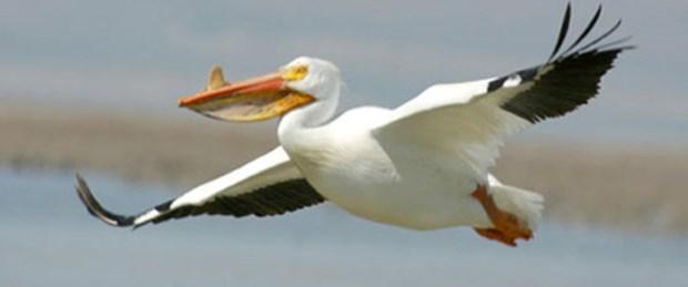 Pelikanlardan iyi haber