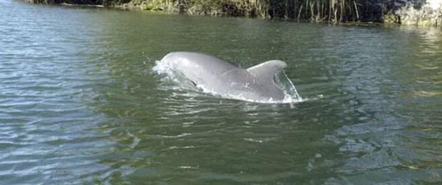 Sakarya Nehri'nde yunus görüldü