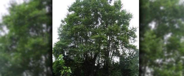 900 yıllık çınar ağacı.jpg