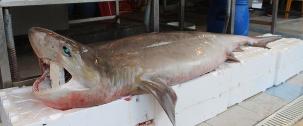 köpek-balığı-26-11-15.jpg