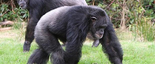 Şempanze de ölümün farkında!