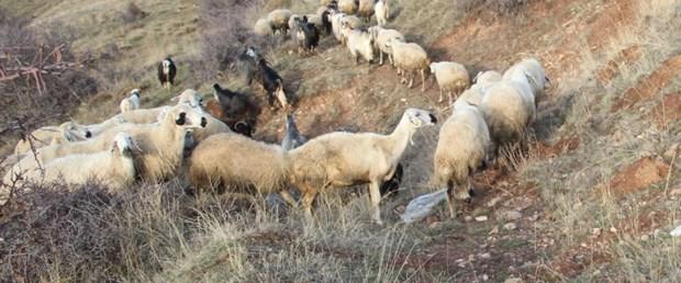 koyun keçi vebası.jpg