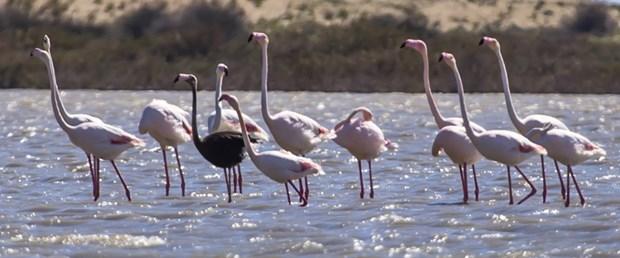 siyah flamingo.jpg