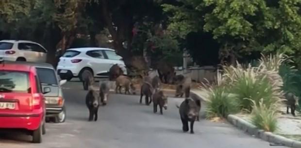 30 domuz Bodrum'da sokak sokak dolaştı