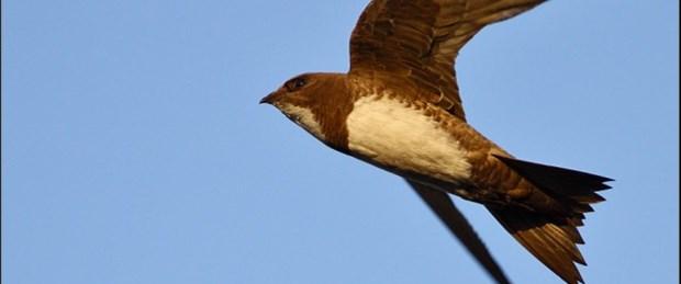 Uçarken uyuyan kuş