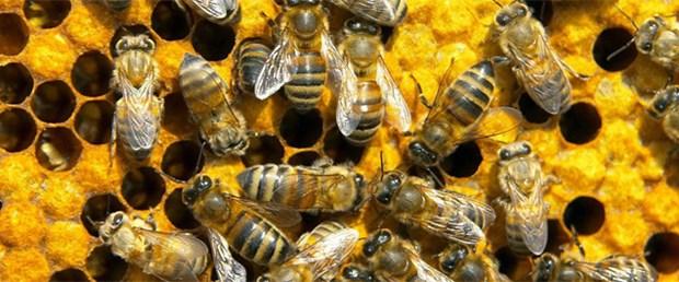 Uykusuz arı oynamaz