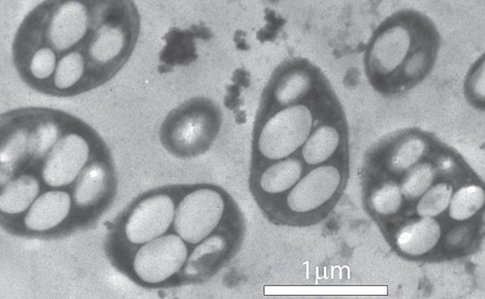 Halomonadaceae ailesine ait GFAJ-1 soyu bakteriler, DNA'larında fosfor elementi yerine arsenik bağlayabiliyor.