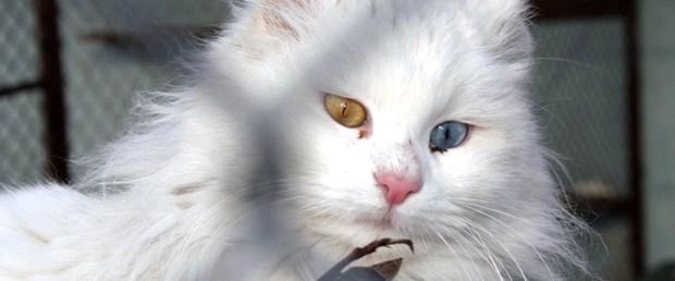 Van kedilerinin yeni düşmanı hırsızlar