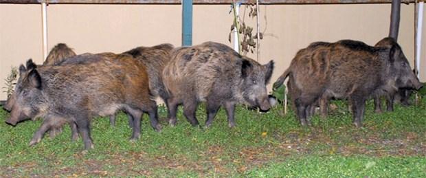 Yaban domuzu pazara daldı: 2 yaralı