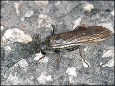 Bazı böcekler, yansıyan ışıktan dolayı suya bırakmaları gereken yumurtalarını asfalt üzerine bırakıyor.
