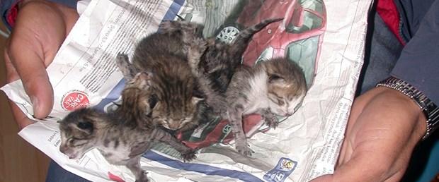 Yapışık beşiz kedilerden biri hayatta