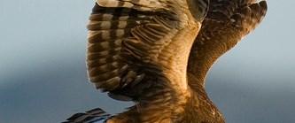 Yırtıcı kuşları avlamanın sonu