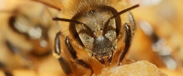 arı.jpg