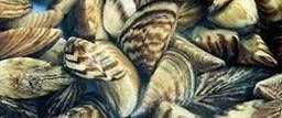 Zebra midyeler barajlara karşı