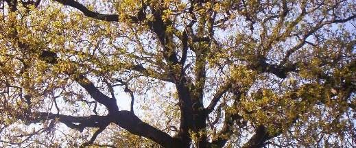 Zorluklara direnen ağaç: Sakız