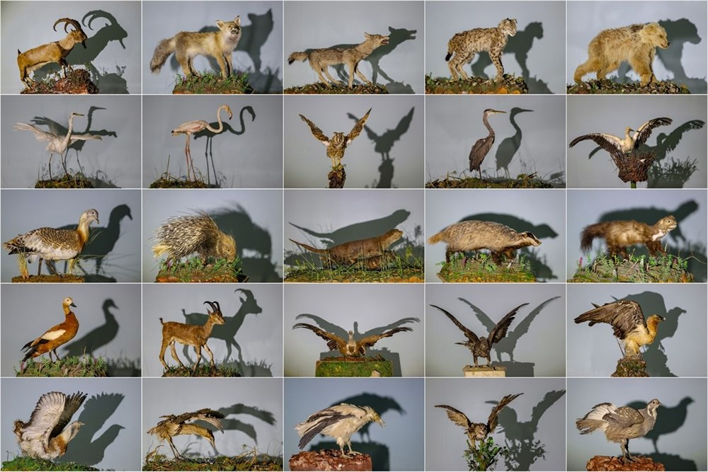 Van'da yaban hayvanları tahnit sanatıyla müzede tanıtılacak - 1