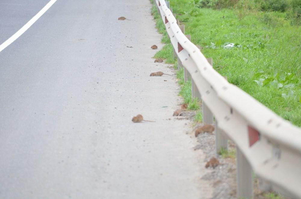 İstanbul yolunu fareler bastı - 1
