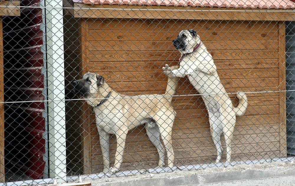 Sivas Kangal köpeklerinin genetiği çiple korunuyor - 7