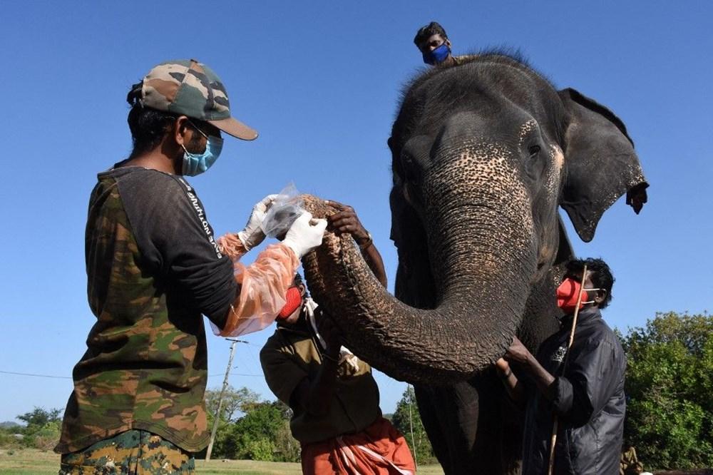 Hindistan'da bir aslanın Covid-19'dan ölmesinin ardından 28 fil corona virüse yakalandı - 4