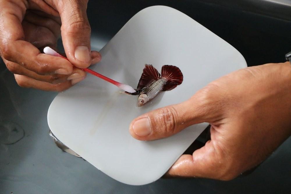 Betta balıkları yarışma için 'kuaförde' güzelleşiyor - 17
