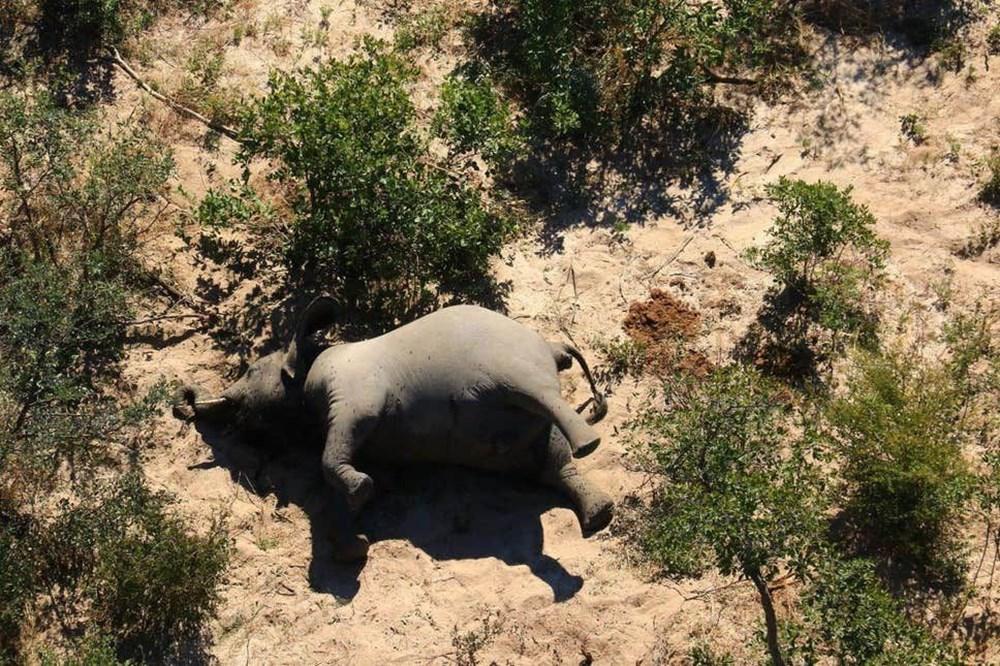 Bostvana'da yüzlerce fil gizemli bir şekilde öldü - 5