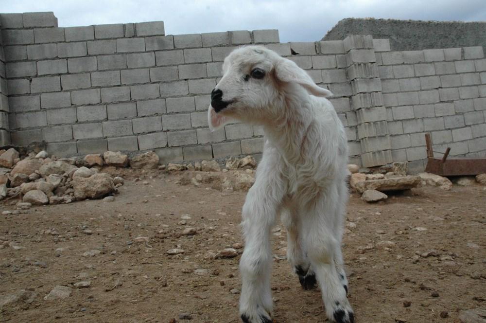 Diyarbakır'da 6 ayaklı doğan kuzu görenleri şaşırtıyor - 4