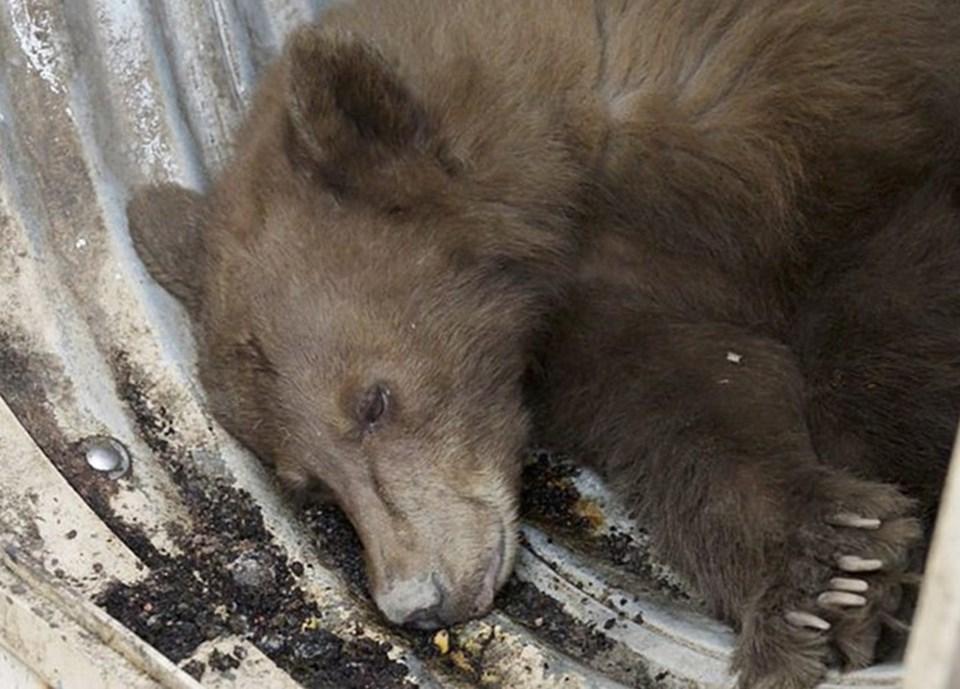 Yiyecek ararken çöp kamyonuna gizlice girdiği tahmin edilen ayının,Sekoya Ulusal Parkı'ndaki Hume Gölü'nde yaşadığı belirtildi.