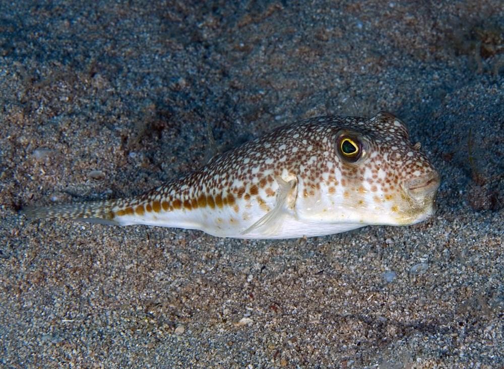 Kızıldeniz'den, Akdeniz'e göçen balık türü 65'e çıktı - 5