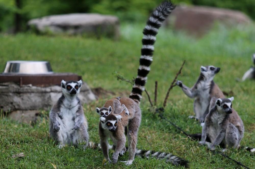 Bursa'daki lemur ailesi büyüyor - 8