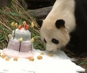 dogum-gunu-pastasina-anlam-veremeyen-panda-bambu-yapragi-yemeye-devam-etti.jpg