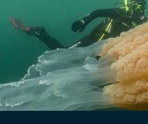 İnsan boyutunda dev denizanası