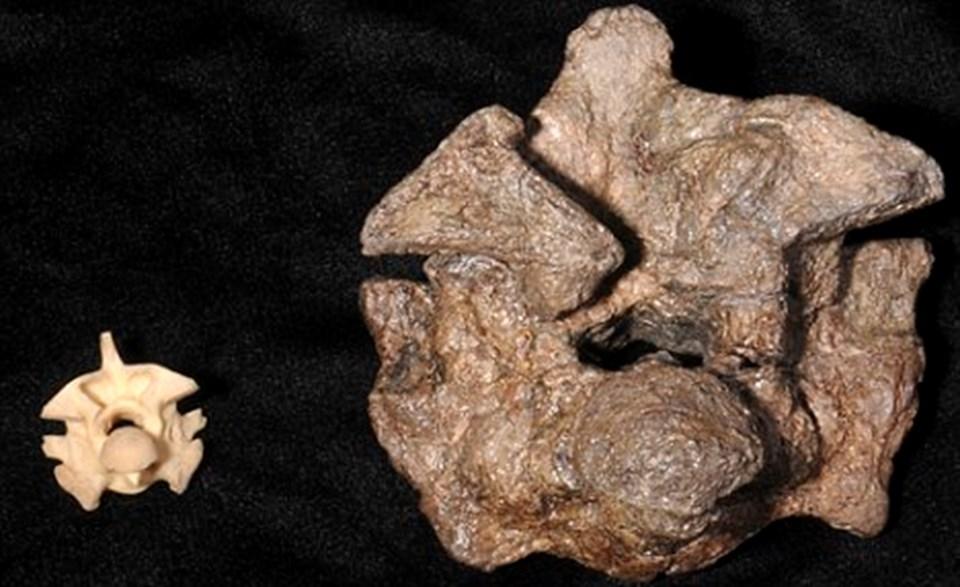 Anaconda (solda) ve Titanoboa (sağda) omurgaları.