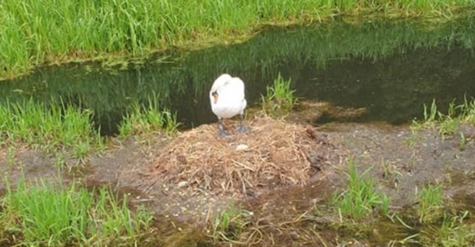 Anne kuğu kaybettiği yumurtalarını ararken görülüyor.