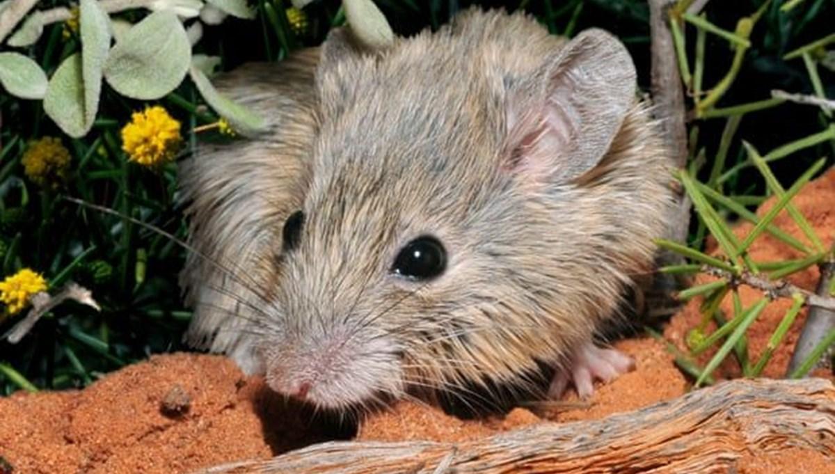 Soyunun tükendiği düşünülüyordu: Avustralya'ya özgü fare 150 yıl sonra tekrar ortaya çıktı