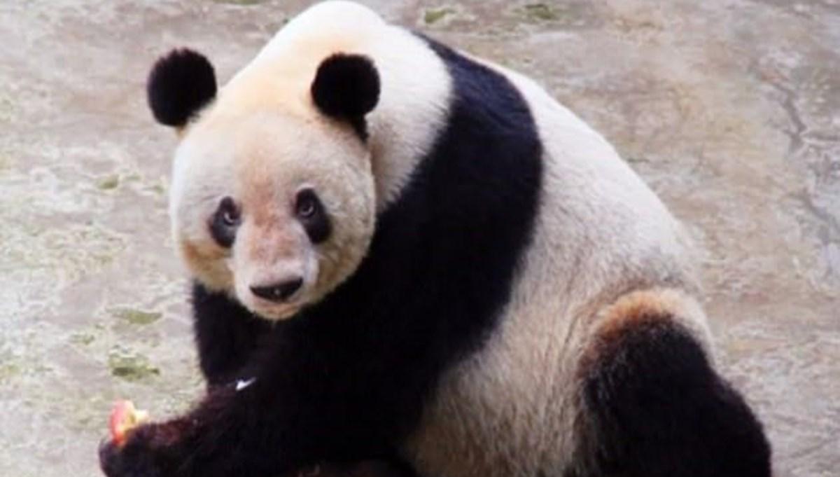 Dünyanın en yaşlı pandası 38 yaşında öldü
