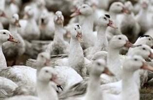 Fransa'da 2 milyon ördek kuş gribi nedeniyle itlaf edildi