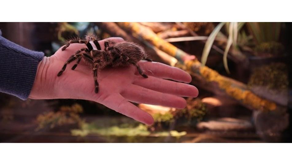 Tarantula ısırması öldürür mü? (Tarantula ısırdığında neler yapılmalı?)