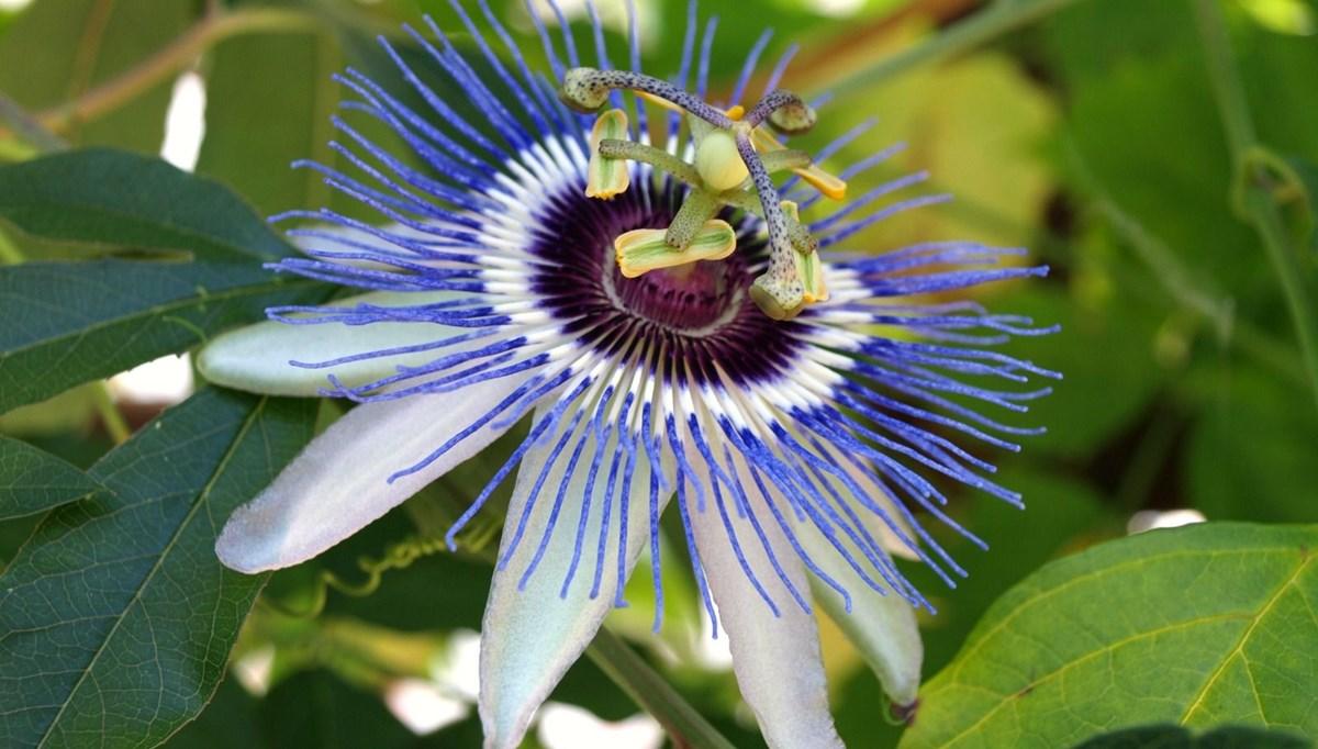Passiflora (çarkıfelek bitkisi) nedir, nerelerde kullanılır?