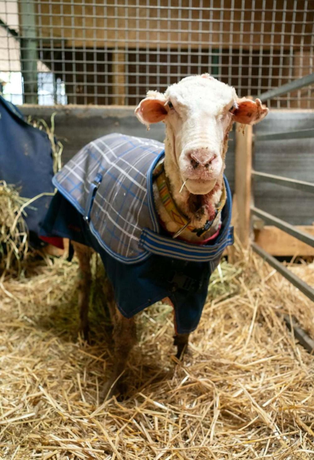 Yıllardır vahşi doğada yaşayan koyun Baarack, 35 kiloluk yükünden kurtuldu - 5