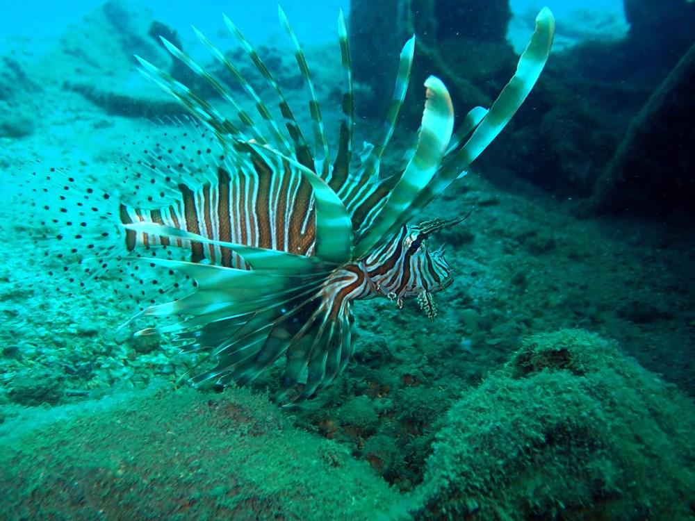 İstilacı, zehirli aslan balığı Akdeniz'i tehdit ediyor - 2