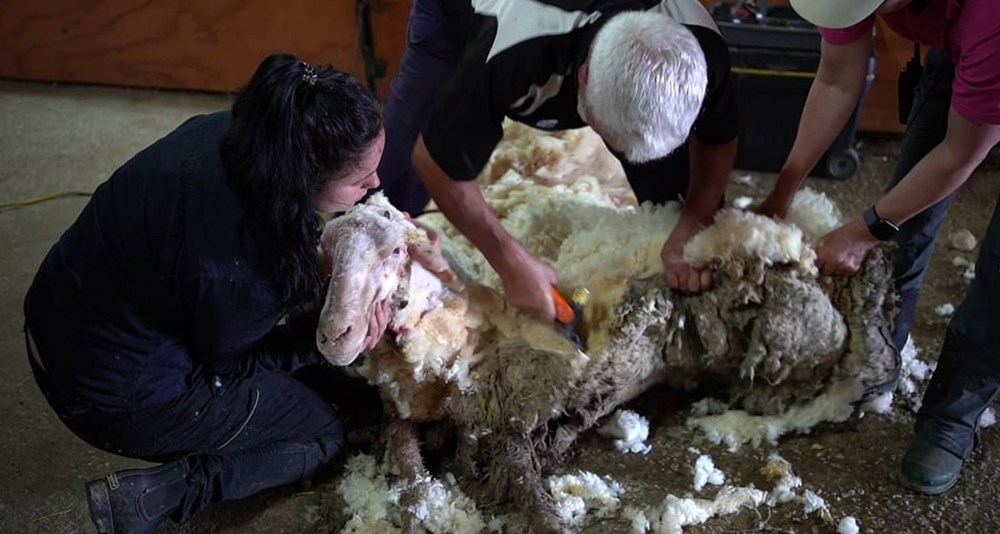 Yıllardır vahşi doğada yaşayan koyun Baarack, 35 kiloluk yükünden kurtuldu - 2
