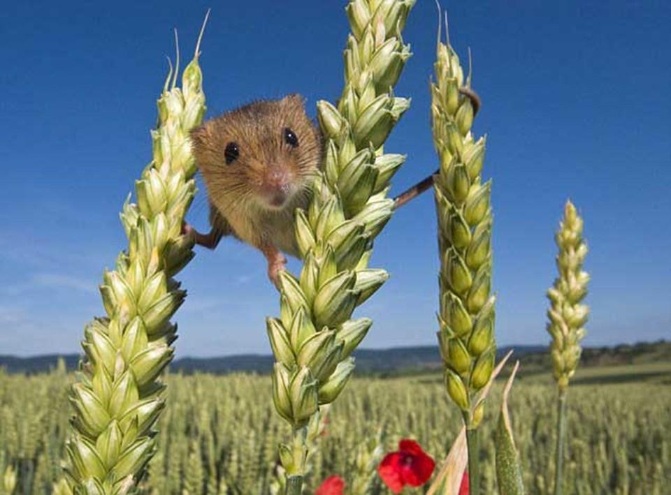 Bööö!: Meraklı dostumuz iki buğday demedi üzerinde denge kurarak kameraya bakıyor.