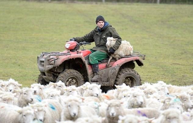 Gordon Wyeth'in toplamda 23 bin koyunu var