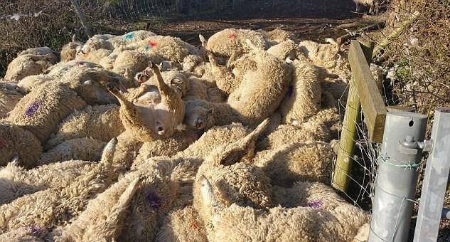 Çİftlik sahibi ölen koyunların önemli bir kısmının hamile olduğunu belirtti.