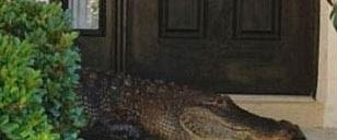 3 metrelik timsah evin kapısına dayandı