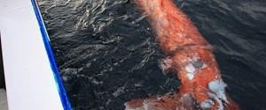 4 metrelik dev kalamar köpekbalığına yem oldu