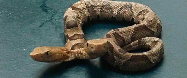 ABD'de çift başlı yılan