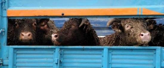 Anguslar Ramazandan önce piyasada