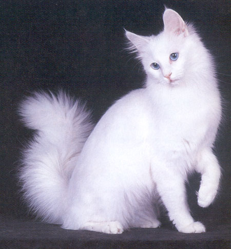 Ankara kedisi hakkında bilgi